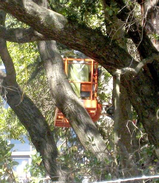 "U C  Berkeley Dismantles Oak Grove ""Tree-Sit"" · zomblog"